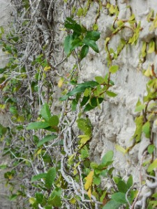Nature overpowers human building - vines growing up a brick wall