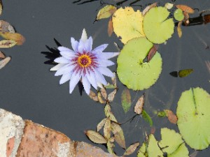 The water lilies were blooming
