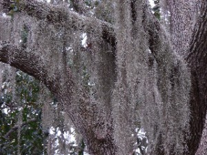 Live oaks festooned with Spanish moss